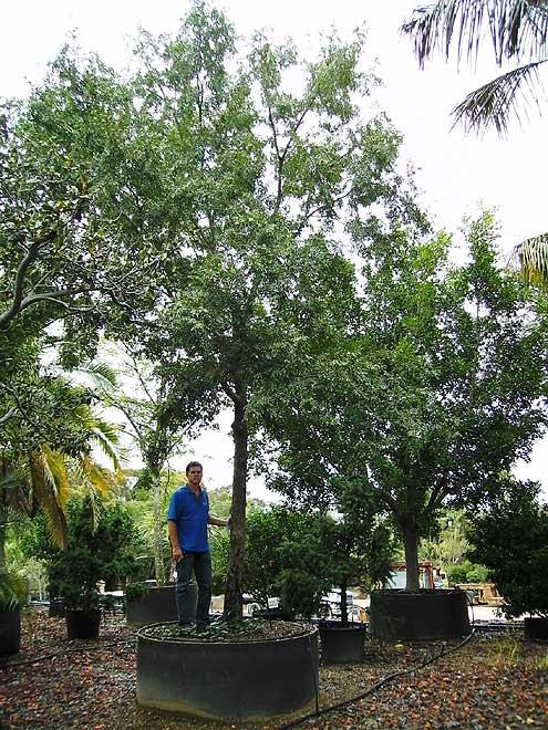 Buy mature trees sydney