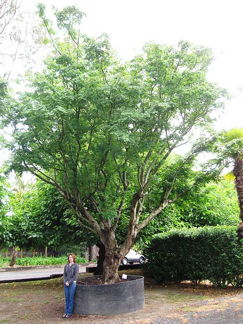 Buy mature trees online